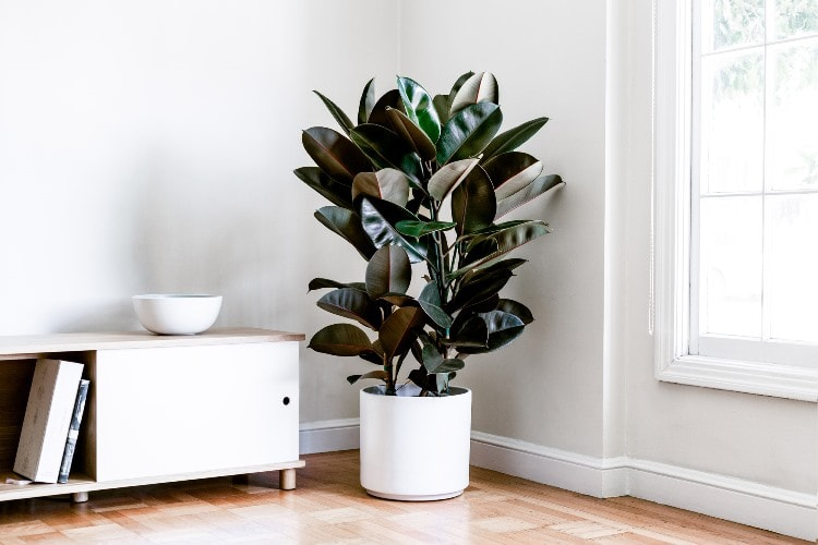 rubber tree indoor plant